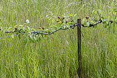 Palisaded pear tree in an orchard, summer, Pas de Calais, France