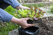 Planting of a 'Rouge Grenobloise' Batavia lettuce and a 'Novappia' head lettuce in summer, Pas de Calais, France