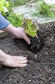 Planting of a 'Rouge Grenobloise' Batavia lettuce in summer, Pas de Calais, France