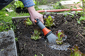 Watering after planting of a 'Rouge Grenobloise' Batavia lettuce in summer, Pas de Calais, France