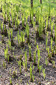 Ostrich fern (Matteuccia struthiopteris) in a spring garden, Somme, France