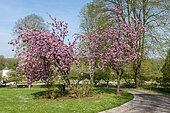 Japanese flowering cherry blossoms in a spring garden, Somme, France
