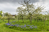 Apple trees in bloom in an orchard in spring, Pas de Calais, France