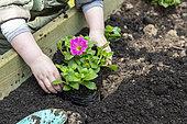Child planting a Petunia (Petunia sp) in a square in spring, Pas de Calais, France