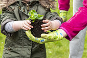 Child planting a Begonia (Begonia sp) in a square in spring, Pas de Calais, France