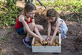 Girls harvesting 'charlotte' potatoes in a vegetable garden in summer, Moselle, France