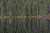 Spruce trees (Picea abies) and a yellow birch (Betula), reflected in Čertovo jezero lake, Čertovo, Sumava National Park, Bohemia, Czech Republic, Europe