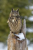 Eurasian eagle-owl (Bubo bubo), sitting on a snow-covered tree stump, Sumava National Park, Bohemian Forest, Czech Republic, Europe
