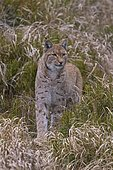 Eurasian lynx (Lynx lynx), stands carefully between blueberry bushes, Sumava National Park, Bohemian Forest, Czech Republic, Europe