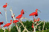 Group of Scarlet Ibis (Eudocimus ruber), Coro Province, Venezuela