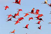 Scarlet Ibis (Eudocimus ruber), group in flight, Coro Province, Venezuela