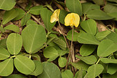 Plantation of Pinto peanut (Arachis pintoi), used as a fodder plant and as a nitrogen fixative, Andasibe (Périnet), Madagascar