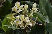 White garland-lily (Hedychium coronarium) inflorescence, Alaotra-Mangoro Region, Madagascar