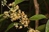Danais (Danais ligustrifolia) Inforescence of the yellow liana in forest, Andasibe (Périnet), madagascar