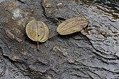 Dichaetanthera (Dichaetanthera cordifolia) Two cordifolia leaves on a rocky plate, Andasibe (Périnet), Madagascar