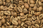 Seeds of the Robusta Coffee Tree (Coffea canephora) before roasting, Alaotra-Mangoro Region, Madagascar