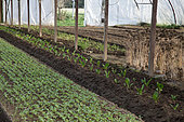 Rows of Radish (Raphanus sativus) and Chard (Beta vulgaris cicla) plants in a glasshouse, France