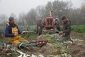 """Leek harvest at an organic market gardener """"Légum'envie"""", Varennes sur Loire, Maine-et-Loire, France"""