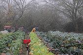 Récolte de choux Kalé (Brassica oleracea palmifolia) chez un maraîcher Bio, France