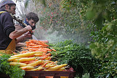 Washing Carrots (Daucus carotta) 'Yellow stone' and 'Nantaises', at an organic market gardener, France