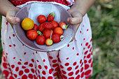 Little girl harvesting in the garden, France