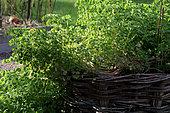 Oca (Oxalis tuberosa), france