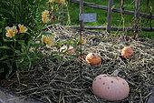 "Pumpkin ""Galeuse D'Eysine"" (Cucurbita maxima) on straw, France"