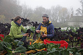 Market gardener's wife helping her husband to harvest cabbage Kale, France