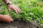 Jardinier coupant une salade au potager, France