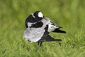 Blacksmith Lapwing (Vanellus armatus), adult preening, Western Cape, South Africa