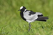 Blacksmith Lapwing (Vanellus armatus), side view of an adult standing on the ground, Western Cape, South Africa