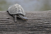 Serrated Hinged Terrapin (Pelusios sinuatus), individual on an old trunk, Mpumalanga, South Africa