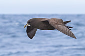 White-chinned Petrel (Procellaria aequinoctialis), side view of an individual in flight, Western Cape, South Afica