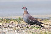 Speckled Pigeon (Columba guinea), side view of an adult standing on the ground, Western Cape, South Africa