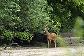 Male roe deer (Capreolus capreolus) eating willow leaves in a branch of the Loire River towards Pouilly-sur-Loire, Loire Valley, France