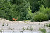 Male roe deer (Capreolus capreolus ) crossing a large dry arm of the Loire River near Pouilly-sur-Loire, Loire Valley, France