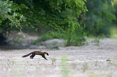 Pine marten (Martes martes) crossing a secondary branch of the Loire River, Loire Valley, France