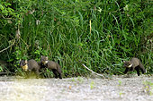 Pine marten (Martes martes) family in a secondary branch of the Loire River, Loire Valley, France