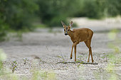 Deer (Capreolus capreolus) female on approach to a dry branch of the Loire River, Loire Valley, France