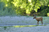 Male roe deer (Capreolus capreolus) crossing an arm of the Loire River in the region of Pouilly-sur-Loire, Loire Valley, France