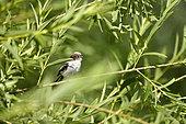 Mésange à longue queue (Aegithalos caudatus) dans les jeunes saules poussant dans les bras secondaires de la Loire, Val de Loire, France