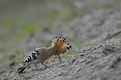 Hoopoe (Upupa epops) searching the sand for insects on a Loire beach, Loire Valley, France