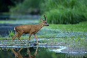 Male roe deer (Capreolus capreolus) crossing a secondary branch of the Loire River at nightfall, Loire Valley, France
