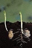Germination, bean seed (Vicia faba), garden, Belfort, Territoire de Belfort, France