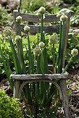 Welsh onion (Allium cepa) var. proliferum, in a old chair, garden Une Figue dans un Poirier, participative operation, permaculture, Girmont, Girmont-Val d'Ajol, Vosges, France