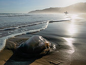 Jellyfish washed up on the beach at Wilderness (Wildernis) In the background, a surfer walks out of the sea. Western Cape. South Africa
