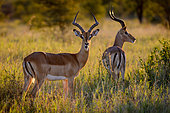 Impala [Aepyceros melampus] in glorious early morning light. Greater Kruger National Park. Mpumalanga. South Africa