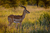 Impala (Aepyceros melampus) in glorious early morning light. Greater Kruger National Park. Mpumalanga. South Africa