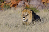 Lion (Panthera leo). South Africa