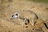 Meerkat or suricate (Suricata suricatta) digging a burrow. Kalahari. South Africa